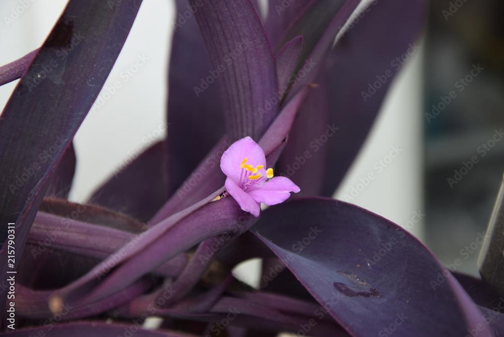 Setkrezja purpurowa, fioletowiec, Setcreasea purpurea, Tradescantia pallida