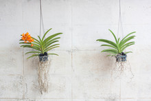 Orchids Grown In Plastic Pots Hanging On The Walls.