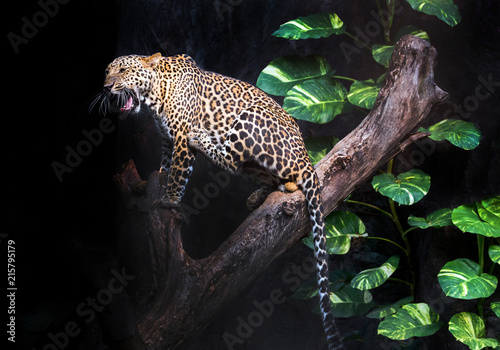 Leopard is resting in the atmosphere of nature forest. Wallpaper Mural