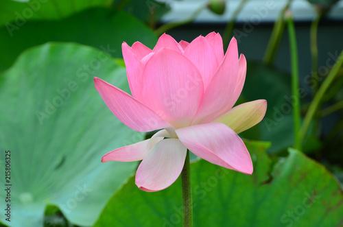 Foto op Canvas Lotusbloem Flowering of the lotus in the estuary, beautiful pink flowers.