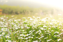 Wild Chamomile Flowers On A Fi...
