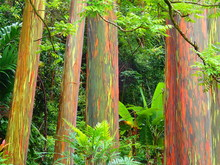 Colorful Green And Red Rainbow Eucalyptus Tree Trunks