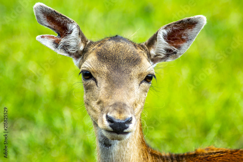 Fotobehang Hert deer with grass background deer close-up deer wildlife