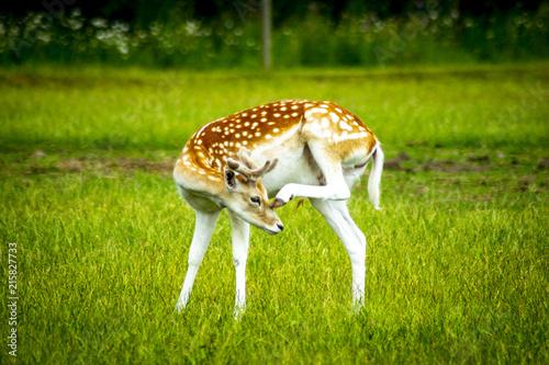 Fototapeten Natur deer with grass background deer close-up deer wildlife