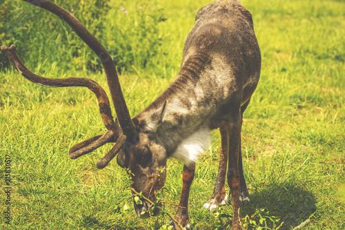 Plakat jelenie z trawy tło jelenie zbliżenie dzikich jeleni