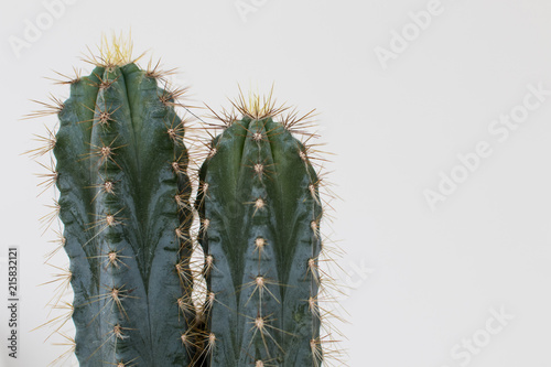 Papiers peints Cactus Cactus type san pedro with two heads with thorns and green trunk. Two succulents in a vase on a white background, spines along the body with a star shape.