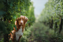 Dog In A Vineyard In Nature. A...
