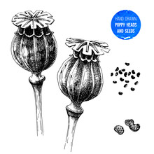 Hand Drawn Poppy Heads And Seeds
