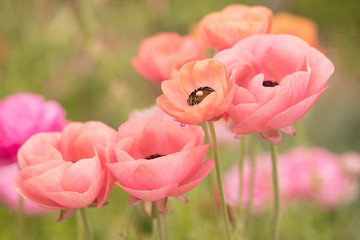 Fototapeta Kwiaty Photograph of coral colored Ranunculus growing in a field