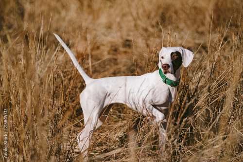 Photo sur Toile Chasse A white pointer puppy in a field at a southern hunting plantation.