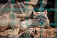 Fox Corsac, Lying On A Log Beh...