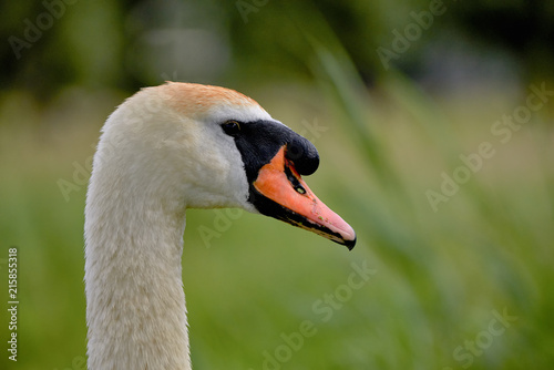 Foto op Plexiglas Zwaan Swan, bird of the Cygnini tribe (Anatidae) - portrait