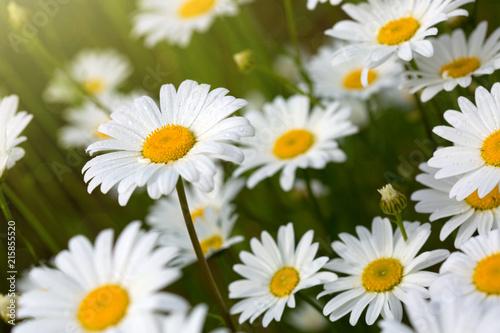 Macro shot of big daisies.