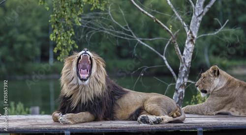Zdjęcie XXL ryczący lew na samochód