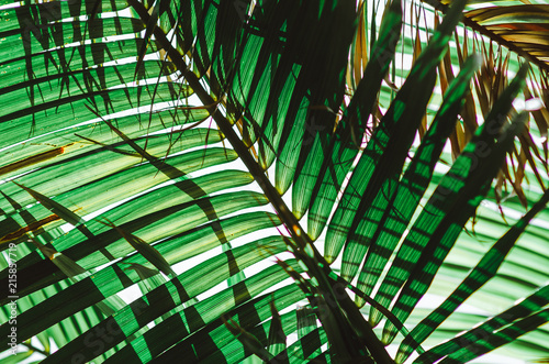 Plissee mit Motiv - Nature poster. Green palm branch. Closeup. Tropical vibes (von Marina Vilesova)