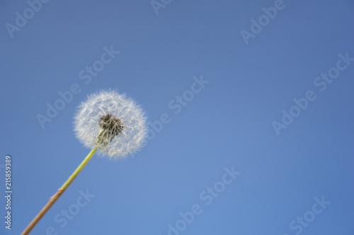 The seed head of a dandelion or Taraxacum flower over the blue sky