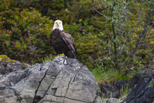 A Perched Bald Eagle Looking At The Camera.