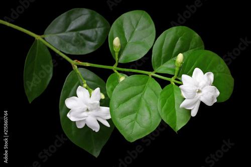 Fotografie, Obraz jasmine tea flower, arabian jasmine, jasminum sambac