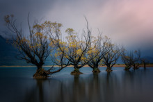 Glenorchy Willow Trees In Autumn, Glenorchy, South Island, New Zealand