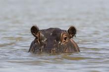 A Hippopotamus (Hippopotamus A...