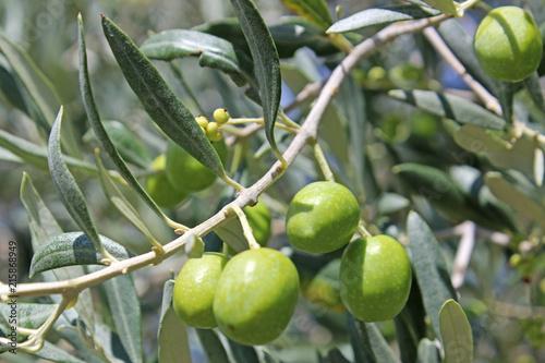 Fotobehang Olijfboom Green Olives on a tree