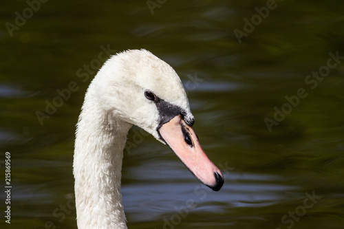 Fotobehang Zwaan beautiful white swan head close-up