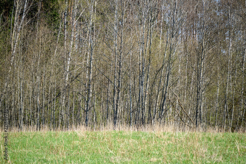 Fotobehang Grijs birch tree trunk textured background pattern