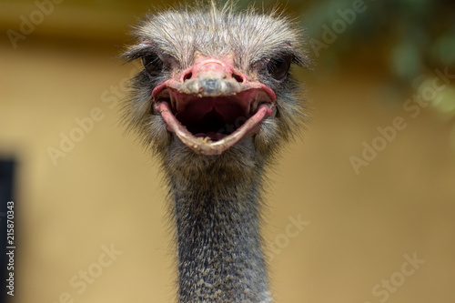 Foto op Plexiglas Struisvogel ostrich's head close up on a natural background