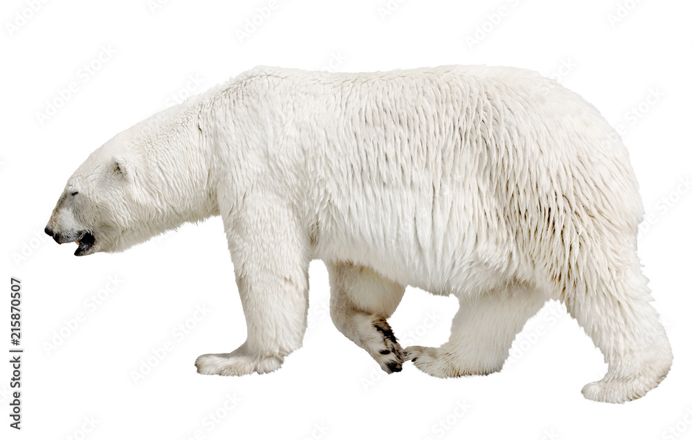 walking polar bear on white