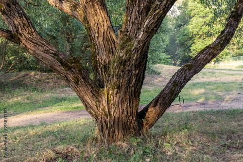 In de dag Olijf tree trunk textured background pattern