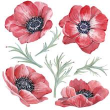 Handpainted Watercolor Red Anemone Flowers Set In Vintage Style