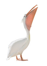 Large Standing Pelican On White
