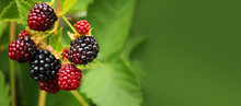 Fresh Blackberry (Rubus Frutic...