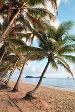 Coconut Palms Along Beach