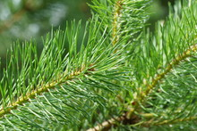 Coniferous Tree Branch With Long Pine Needles The Drops Of Rain Sparkle In The Sun  For Cover Of The Magazine, Calendars, Postcards About Protection Of The Wood, Books About The Wood And The Nature