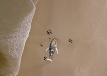 Aerial View Of A Beached Whale...