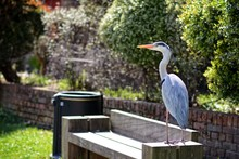 Grey Heron Standing On A Bench In North London Park