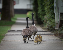 A Family Of Canadian Geese Wal...