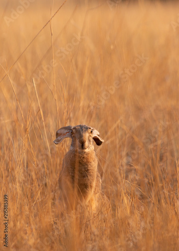 A jackrabbit sitting in the morning sun in a field of dry golden grass with it's Poster