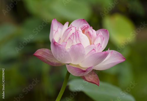 Foto op Canvas Lotusbloem Pink lotus with green leaves background