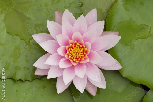 Staande foto Lotusbloem Close up image of pink waterlily with green leaves background