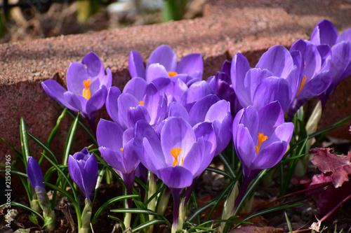 花壇に咲くクロッカス