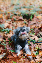 Cute Scrappy Dog In Fall Leaves