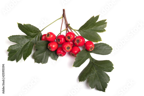 berry red whitethorn on a branch with green leaves
