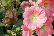 Pink Mallow Blossoms