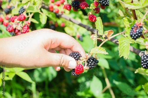 Ripe and unripe blackberries on the bush with selective focus. Hands picking blackberries. Female hands hold blackberries.