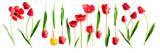 Fototapeta Tulipany - Red and yellow tulip flowers