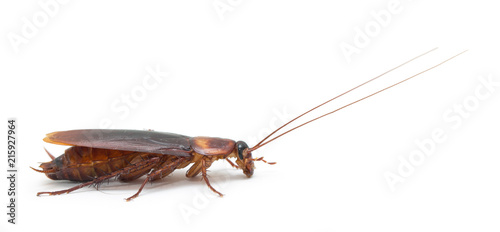 cockroach isolated on white background