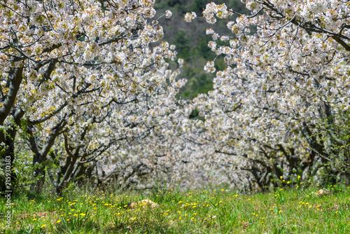 Photo  Cerezos en flor, valle de Caderechas, España