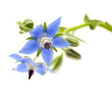 Blue Flowers Of Borage Isolated